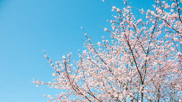 None - Sakura Mini Matsuri (Mini Cherry Blossom Festival)