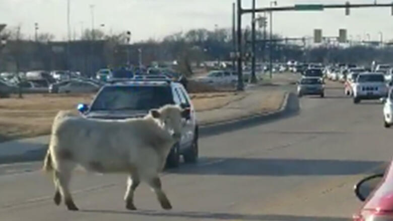 Image result for Runaway Cow Leads Police On A Chase To Nearby Chick-Fil-A