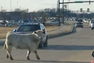 Runaway Cow Leads Police On A Chase To Nearby Chick-Fil-A