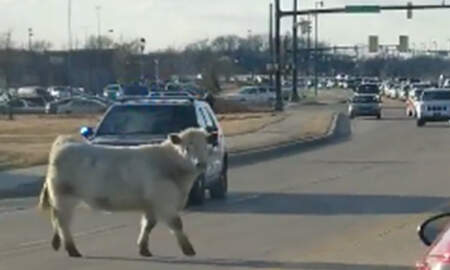 National News - Runaway Cow Leads Police On A Chase To Nearby Chick-Fil-A