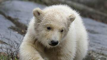 The Gunner Page - Polar Bear Cub at Berlin Zoo Is the Cutest Damn Thing EVER (Video)
