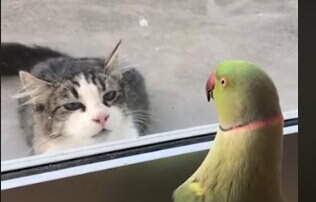 Hitman - Parakeet Plays Peek-a-boo with Cat