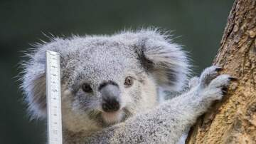 Mike Miller - Man Discovers A Koala In His Car!