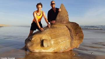 Coast to Coast AM with George Noory - Huge Sunfish Washes Ashore in Australia