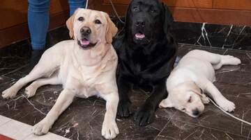 The DSC Show - Labrador's win again as best dog in America!