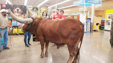 Weird News - Rancher Brings Steer To Petco To Test 'All Leashed Pets Are Welcome' Policy