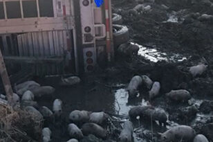 Truck Carrying 3,000 Piglets Overturns On Illinois Highway