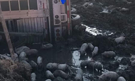 National News -  Truck Carrying 3,000 Piglets Overturns On Illinois Highway
