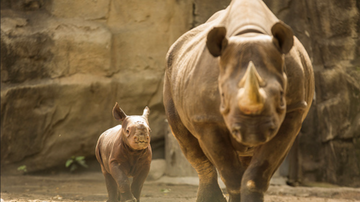 Brady - Critically Endangered Rhino At Lincoln Park Is Pregnant