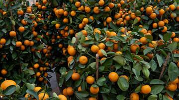 Kalisha Perera - Riverside Citrus Tasting & Family Festival