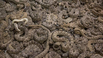 Frankie and Jess - Man finds 45 rattlesnakes under his house! (VIDEO)