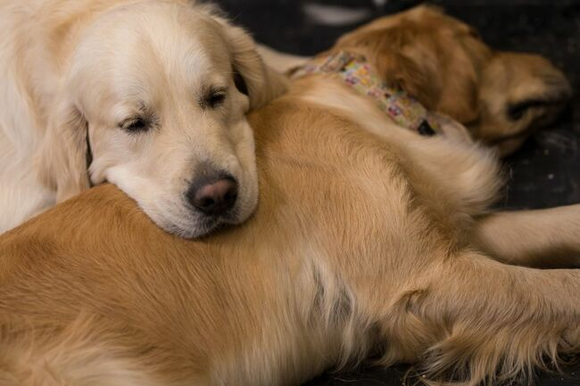 The Internet Fell In Love With A Golden Retriever And His Seeing Eye Dog
