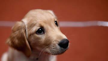 Dan Springer - Blind Golden Retriever Gets Seeing Eye Puppy