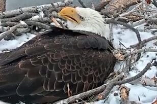 Pair of Bald Eagles in Big Bear Welcome New Eggs