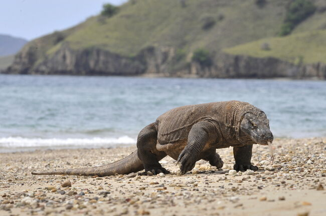 Komodo island closing because people keep trying to steal the dragons