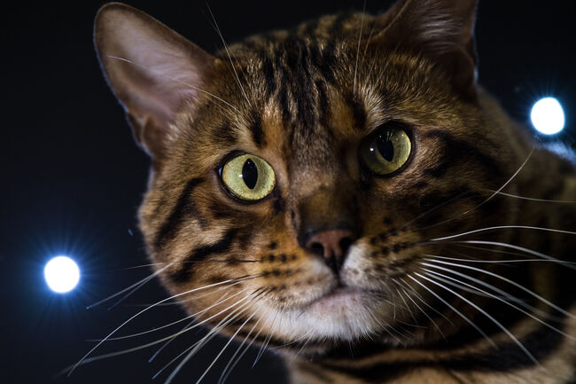 The Feline World Gathers For The Supreme Cat Show 2017