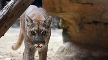 JJ - Mom Fights Cougar Attacking Her Son