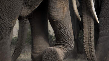 Lisa Dent - It's World Elephant Day And Lisa Dent Is Committed To Saving Them!