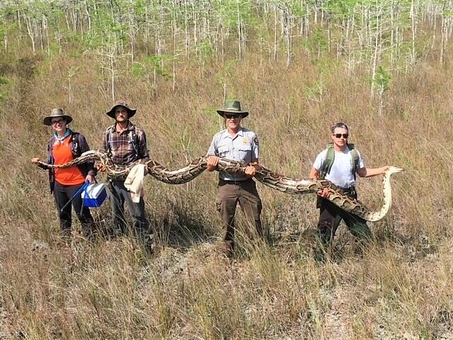 Scientists Capture Record 17-Foot-Long Python in Florida Everglades