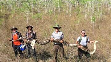 Weird, Odd and Bizarre News - Scientists Capture Record 17-Foot-Long Python in Florida Everglades
