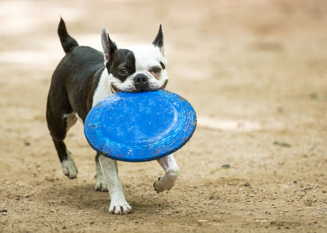 Boston terrier at play at dog park