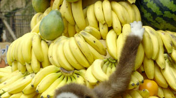 Memphis Morning News - Human Genes Implanted In Rhesus Monkeys