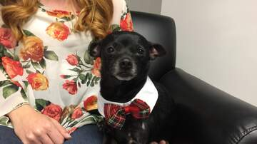 Pet of the Week - Ernie is a very sweet and timid Chihuahua. Ready for adoption at HSSM