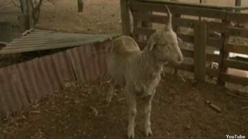 Coast to Coast AM with George Noory - Australian Man Saves 'Unicorn' Sheep