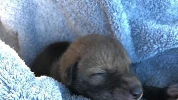 Jake Dill - Puppy Rescued by SoCal Man Turns Out to Be a Coyote