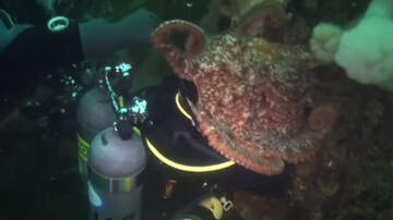 Weird News - Wild Underwater Video Shows Giant Octopus Engulfing Diver's Head