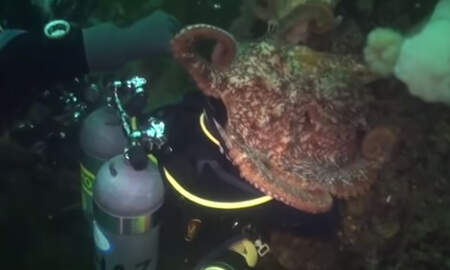 National News - Wild Underwater Video Shows Giant Octopus Engulfing Diver's Head