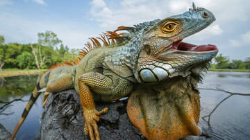 Florida News - A Rise In Iguanas Keeping South Florida Removal Companies Busy
