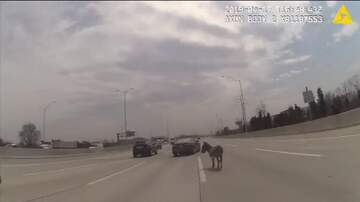 Ken Payne - Donkey In The Middle Of I-90 In Chicago