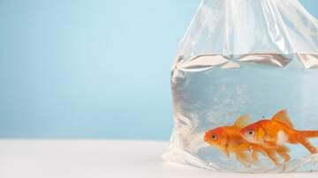Klinger - Maid Of Honor Forced To Deal w/99 Dead Goldfish That Bride Used As Favors