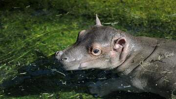 Anna de Haro - A New Baby Hippo At The Dallas Zoo