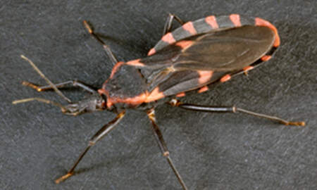 National News - Blood-Sucking 'Kissing Bug' Spreading Through America