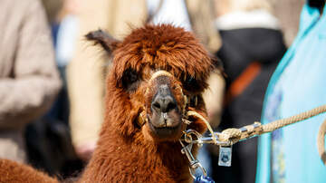 Robin - This Airbnb Lets You Live Among Alpacas and Its Only $74