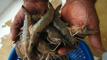 Hannah Mac - New Study: 'Drugs found in Shrimp'