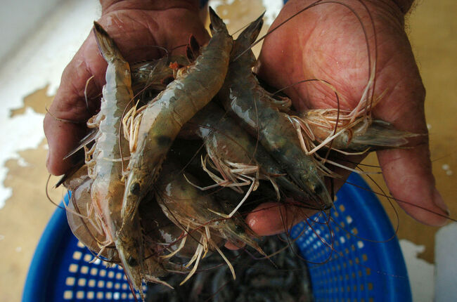 Louisiana Shrimpers Face Uncertain Future