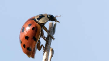 Sharp - This Ladybug Imposter Is Not Your Friend, They Pack a Nasty Bite