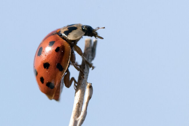 This Ladybug Imposter Is Not Your Friend, They Pack a Nasty Bite