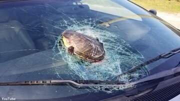 Coast to Coast AM with George Noory - Watch: 'Flying' Turtle Whacks Car