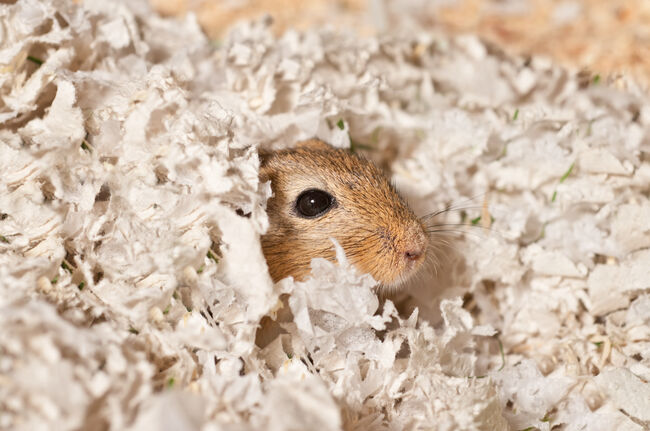 wake up call - Gerbil in his bed