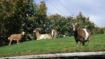 1450 WKIP News Feed - Rhinebeck Goats Are Being Sent To Clean Up In NYC