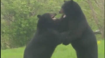 Weird News - Wild Video Captures Two Black Bears Fighting In Front Of New Jersey Home