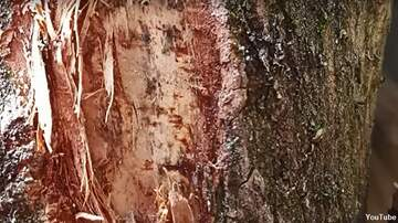 Coast to Coast AM with George Noory - 'Face of Jesus' Spotted on Tree Trunk