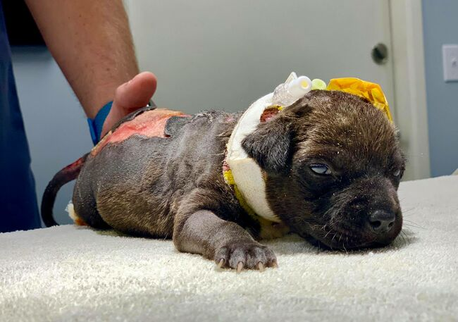 $20,000 Reward Offered For Information Leading To Person Who Burned Puppy