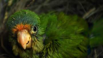 KOGO LOCAL NEWS - San Diego Has Wild Parrots-Many Around The Country Are Escaped Pets