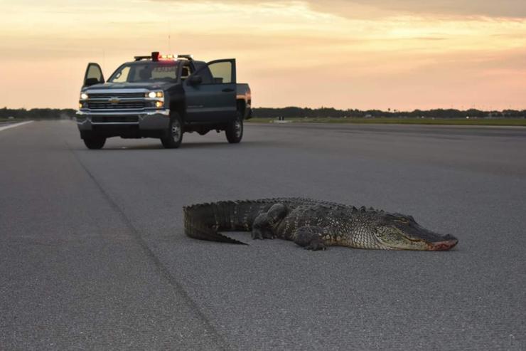 air force alligator