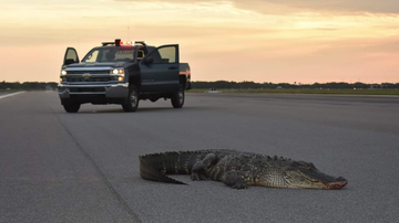 Weird, Odd and Bizarre News - Base Officials in Florida Use Frontloader to Remove Alligator From Runway